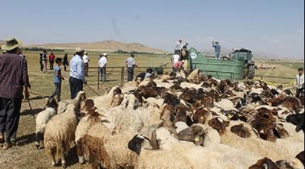 'Mobil koyun banyoluğu' ile binlerce koyun dezenfekte ediliyor