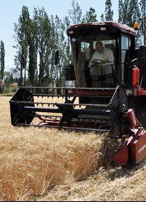 Gümüşhane'de buğday hasadı başladı