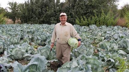 Bir asırdır aynı tohumla lahana ekiyor