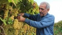 'Sultanlara layık üzüm', eksi 5 dereceye kadar dayanıyor