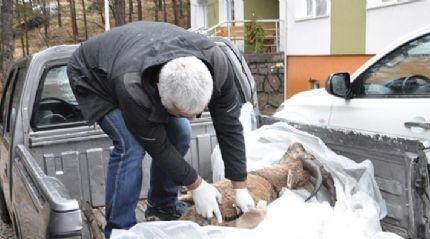 Dağ keçisi ölümlerinde 'veba' şüphesi