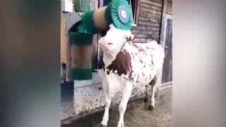 Otomatik fırçayı keşfedince çıldıran inek