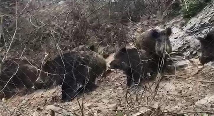 İstanbul´da domuz sürüsü korkuttu