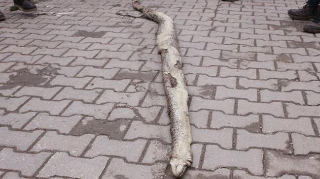 Tekirdağ'da 3 metre 20 santim boyunda ölü yılan bulundu