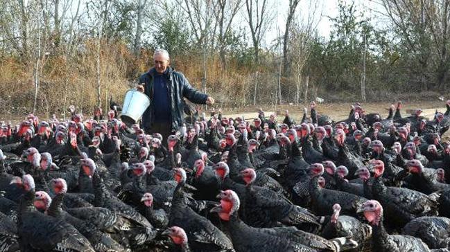 Emekli öğretmen, kurduğu çiftlikte organik hindi yetiştiriyor