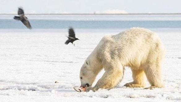 Kutup ayısı buz parçası üzerinde 700 kilometre sürüklendi