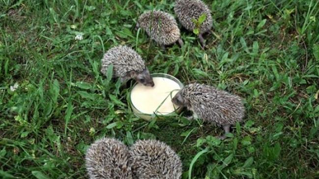 Anneleri ölen yavru kirpileri sütle besliyorlar