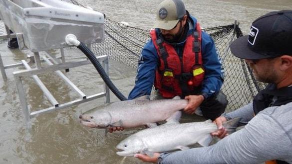 Binlerce somon balığı için harekete geçildi