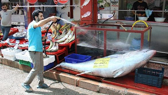 241 kiloluk dev orkinos görenleri hayrete düşürdü