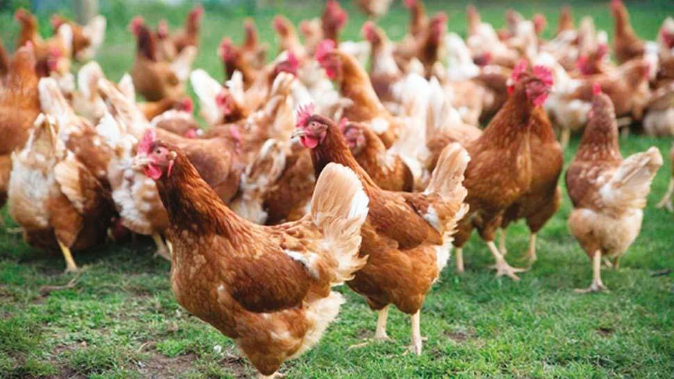 Şaşırtan alışveriş: Yanlışlıkla bin tavuk satın aldı