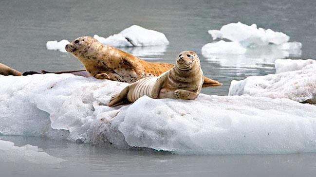 Eriyen buzullardan korkutucu haber! Ölüm yayılıyor