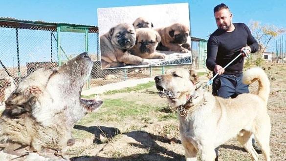 Yavru Kangallar vatan için büyüyor