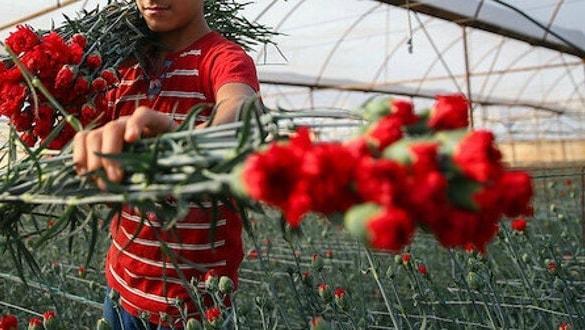 Sevgililer Günü'nde rekor! Türkiye'den 20 günde 39 milyon liralık çiçek ihraç edildi